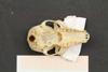 http://mczbase.mcz.harvard.edu/specimen_images/mammalogy/large/44886_Lemus_fulvus_collaris_hv.jpg