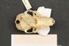 http://mczbase.mcz.harvard.edu/specimen_images/mammalogy/large/44889_Lemur_fulvus_collaris_hv.jpg