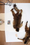 http://mczbase.mcz.harvard.edu/specimen_images/mammalogy/large/44893_Lemur_fulvus_collaris_v.jpg