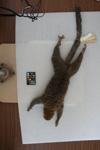 http://mczbase.mcz.harvard.edu/specimen_images/mammalogy/large/44894_Lemur_mongoz_d.jpg
