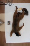 http://mczbase.mcz.harvard.edu/specimen_images/mammalogy/large/44895_Lemur_fulvus_collaris_d.jpg