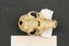 http://mczbase.mcz.harvard.edu/specimen_images/mammalogy/large/44895_Lemur_fulvus_collaris_hv.jpg