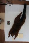http://mczbase.mcz.harvard.edu/specimen_images/mammalogy/large/44898_Lemur_rubriventer_d.jpg
