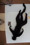 http://mczbase.mcz.harvard.edu/specimen_images/mammalogy/large/44901_Lemur_macaco_v.jpg
