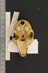 http://mczbase.mcz.harvard.edu/specimen_images/mammalogy/large/44903_Lemur_catta_hv.jpg