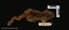 http://mczbase.mcz.harvard.edu/specimen_images/mammalogy/large/44946_Cheirogaleus_major_d.jpg