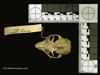 http://mczbase.mcz.harvard.edu/specimen_images/mammalogy/large/44946_Cheirogaleus_major_hd.jpg