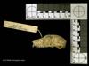 http://mczbase.mcz.harvard.edu/specimen_images/mammalogy/large/44946_Cheirogaleus_major_hl.jpg