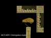 http://mczbase.mcz.harvard.edu/specimen_images/mammalogy/large/44951_Cheirogaleus_major_hl.jpg