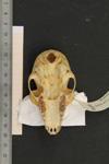 http://mczbase.mcz.harvard.edu/specimen_images/mammalogy/large/45128_Lemur_catta_hv.jpg