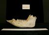 http://mczbase.mcz.harvard.edu/specimen_images/mammalogy/large/46401_Babyrousa_babyrousa_ml2.jpg