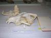 http://mczbase.mcz.harvard.edu/specimen_images/mammalogy/large/46545_Canis_lupus_tundrarum_hl.jpg