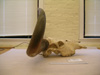 http://mczbase.mcz.harvard.edu/specimen_images/mammalogy/large/46589_Novibos_sauveli_hl.jpg