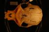 http://mczbase.mcz.harvard.edu/specimen_images/mammalogy/large/47006_Colobus_polykomos_dodingae_hd.jpg