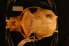 http://mczbase.mcz.harvard.edu/specimen_images/mammalogy/large/47008_Colobus_polykomos_dodingae_hd.jpg