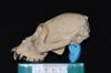 http://mczbase.mcz.harvard.edu/specimen_images/mammalogy/large/47266_Alouatta_palliata_pigra_hl.jpg