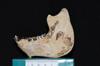 http://mczbase.mcz.harvard.edu/specimen_images/mammalogy/large/47266_Alouatta_palliata_pigra_ml2.jpg