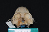 http://mczbase.mcz.harvard.edu/specimen_images/mammalogy/large/47268_Alouatta_palliata_pigra_hf.jpg