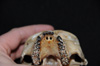 http://mczbase.mcz.harvard.edu/specimen_images/mammalogy/large/47268_Alouatta_palliata_pigra_hv2.jpg