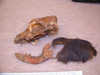 http://mczbase.mcz.harvard.edu/specimen_images/mammalogy/large/47444_Canis_familiaris_hl3.jpg