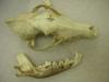 http://mczbase.mcz.harvard.edu/specimen_images/mammalogy/large/48631_Canis_latrans_ssp_hd.jpg