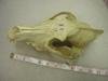 http://mczbase.mcz.harvard.edu/specimen_images/mammalogy/large/50512_Canis_lupus_tundrarum_hd2.jpg