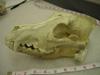 http://mczbase.mcz.harvard.edu/specimen_images/mammalogy/large/50512_Canis_lupus_tundrarum_hl.jpg
