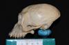 http://mczbase.mcz.harvard.edu/specimen_images/mammalogy/large/5070_Brachyteles_arachnoides_hl.jpg