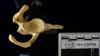 http://mczbase.mcz.harvard.edu/specimen_images/mammalogy/large/50958_Pongo_pygmaeus_scap-glen.jpg