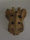 http://mczbase.mcz.harvard.edu/specimen_images/mammalogy/large/50960_pongo_pygmaeus_Sacrum1.jpg