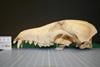 http://mczbase.mcz.harvard.edu/specimen_images/mammalogy/large/51456_Chrysocyon_brachyurus_hl.jpg