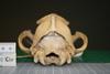 http://mczbase.mcz.harvard.edu/specimen_images/mammalogy/large/51456_Chrysocyon_brachyurus_hp.jpg