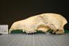 http://mczbase.mcz.harvard.edu/specimen_images/mammalogy/large/51457_Chrysocyon_brachyurus_hl.jpg