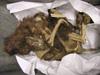 http://mczbase.mcz.harvard.edu/specimen_images/mammalogy/large/51850_Canis_familiaris_l.jpg