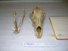 http://mczbase.mcz.harvard.edu/specimen_images/mammalogy/large/52813_Canis_familiaris_hf.jpg