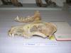 http://mczbase.mcz.harvard.edu/specimen_images/mammalogy/large/52813_Canis_familiaris_hl.jpg