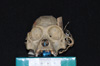 http://mczbase.mcz.harvard.edu/specimen_images/mammalogy/large/5324_Alouatta_palliata_palliata_hf.jpg