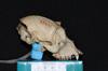 http://mczbase.mcz.harvard.edu/specimen_images/mammalogy/large/5324_Alouatta_palliata_palliata_hl.jpg