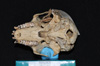 http://mczbase.mcz.harvard.edu/specimen_images/mammalogy/large/5324_Alouatta_palliata_palliata_hv.jpg
