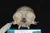 http://mczbase.mcz.harvard.edu/specimen_images/mammalogy/large/5336_Ateles_geoffroyi_geoffroyi_hf.jpg