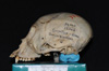http://mczbase.mcz.harvard.edu/specimen_images/mammalogy/large/5336_Ateles_geoffroyi_geoffroyi_hl.jpg