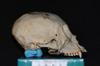 http://mczbase.mcz.harvard.edu/specimen_images/mammalogy/large/5336_Ateles_geoffroyi_geoffroyi_hl2.jpg