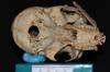 http://mczbase.mcz.harvard.edu/specimen_images/mammalogy/large/5337_Ateles_geoffroyi_geoffroyi_hv.jpg