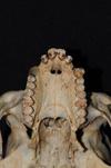 http://mczbase.mcz.harvard.edu/specimen_images/mammalogy/large/5337_Ateles_geoffroyi_geoffroyi_hv2.jpg