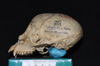 http://mczbase.mcz.harvard.edu/specimen_images/mammalogy/large/5344_Ateles_geoffroyi_geoffroyi_hl.jpg
