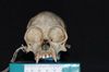 http://mczbase.mcz.harvard.edu/specimen_images/mammalogy/large/5346_Ateles_geoffroyi_geoffroyi_hf.jpg