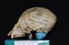 http://mczbase.mcz.harvard.edu/specimen_images/mammalogy/large/5346_Ateles_geoffroyi_geoffroyi_hl.jpg