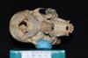 http://mczbase.mcz.harvard.edu/specimen_images/mammalogy/large/5346_Ateles_geoffroyi_geoffroyi_hv.jpg