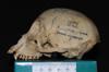 http://mczbase.mcz.harvard.edu/specimen_images/mammalogy/large/5350_Ateles_geoffroyi_geoffroyi_hl.jpg