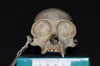http://mczbase.mcz.harvard.edu/specimen_images/mammalogy/large/5351_Ateles_geoffroyi_geoffroyi_hf.jpg
